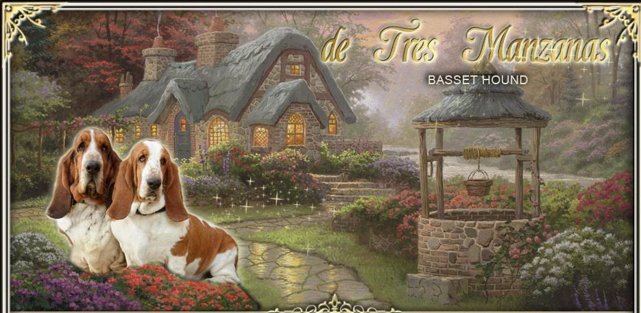 Basset Hound de Tres Manzanas